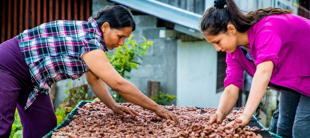 Small-scale cocoa farmers dry beans