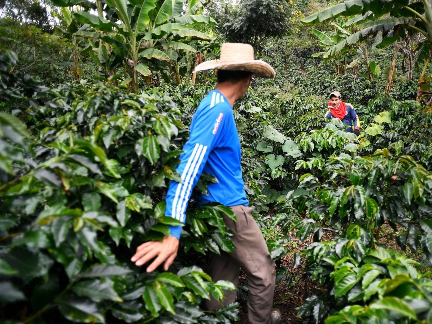 Coffee smallholder farmers in field