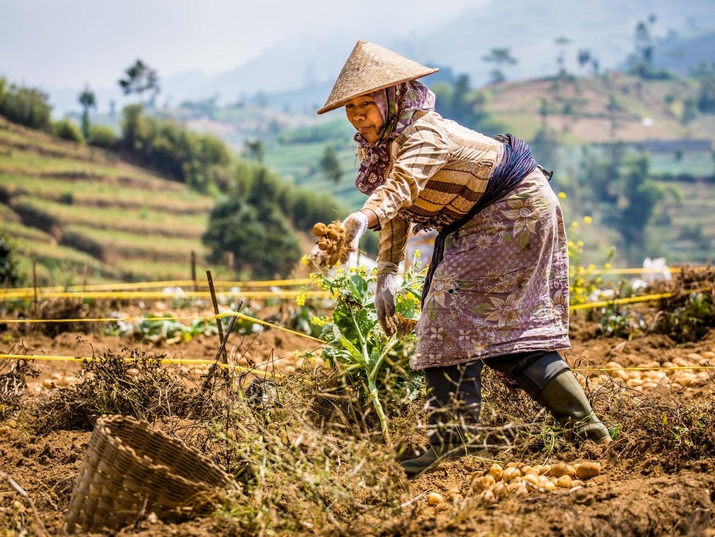 Smallholder farmer harvesting in Indonesia