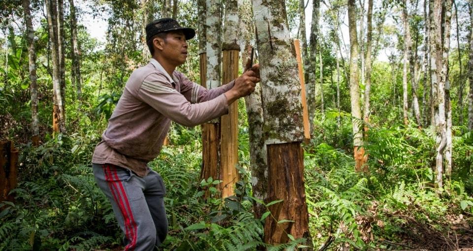Cinnamon farmer in Indonesia