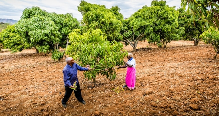 Mango smallholder farmers in field in Kenya