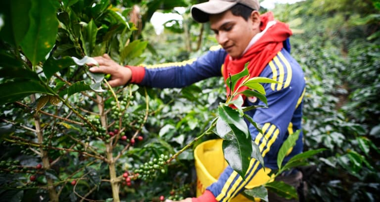 Smallholder coffeefarmer picks coffee beans from tree