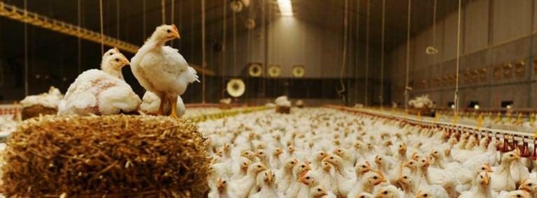 Zaal vol met kippen